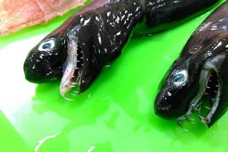 Акула-«Чужой» Trigonognathus kabeyai
