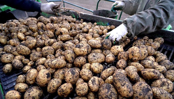 Неурожай и рост цен: на прилавках может появиться картофель класса «эконом»