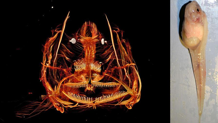 Морской слизень Pseudoliparis Sire