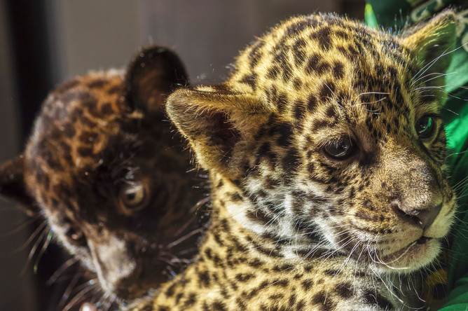 Полуторамесячные детеныши ягуара Кими и Инка в Ленинградском зоопарке