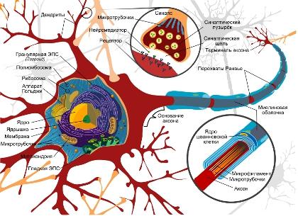 Схема строения нейрона. // Wikipedia
