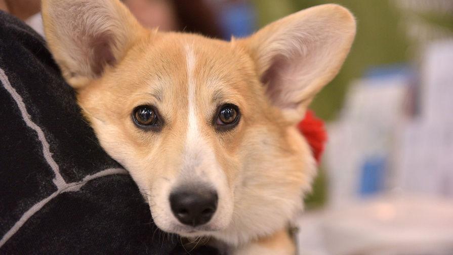 Бровки домиком: как собаки научились манипулировать людьми