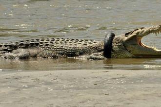 Крокодил, застрявший в автомобильнй шине (Индонезия)