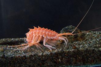В озере описано больше 350 эндемичных видов. На фотографии представитель уникального глубоководныого вида