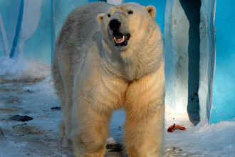 Белый медведь Кай в вольере Новосибирского зоопарка