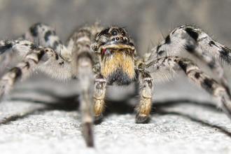 Южнорусский тарантул (Lycosa singoriensis)