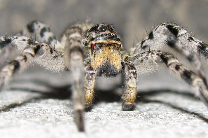 ����������� �������� (Lycosa singoriensis)
