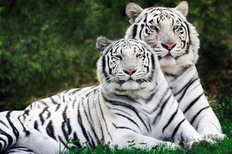 Белый тигр больше не мутант