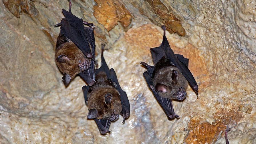 У летучих мышей в Сочи нашли опасные виды коронавируса