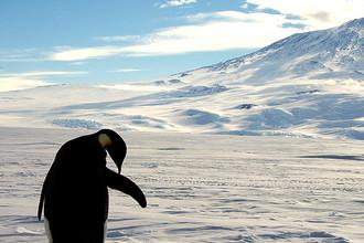 Императорский пингвин у основания действующего вулкана Эребус в Антарктиде, 2006 год