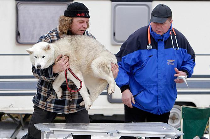 Погонщик несет свою собаку на ветеринарную станцию перед забегом