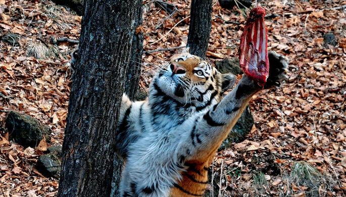 В Приморье не могут взять на баланс дружившего с козлом тигра Амура