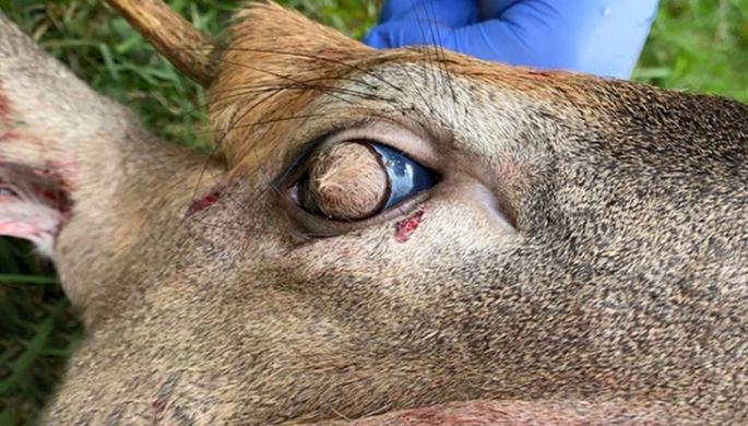 «Как мочалкой закрыть»: в США найден олень с волосатыми глазами