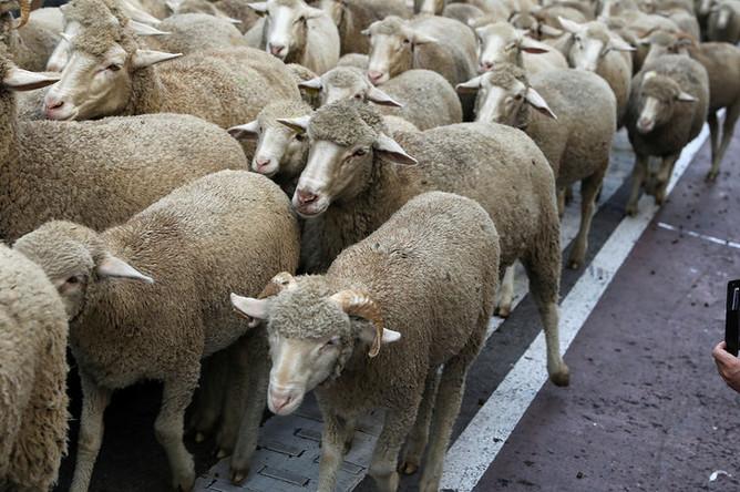 Во время ежегодного прогона овец через центр Мадрида, Испания, октябрь 2018 года