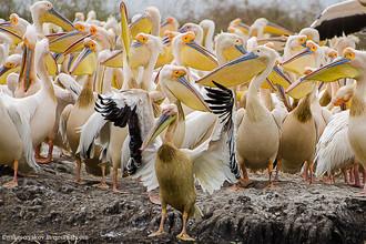 Два миллиона пеликанов