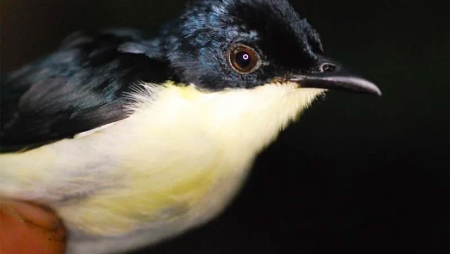 В Новой Гвинее нашли неизвестный вид птиц