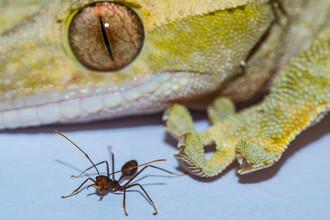 Геккон и муравей — оба животных способны на передвижение по вертикальным поверхностям.